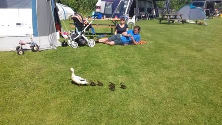 Jonge Eenden - Camping Synneveer